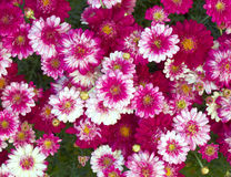 Colorful small chrysanthemums close-up Stock Photography