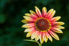 Colorful Small Sunflower Royalty Free Stock Images