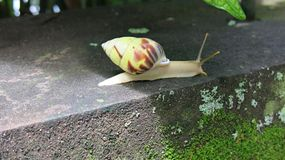 Colorful snail on concrete step. Long antennae. Out of the shell. stock photos