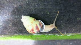 Colorful snail on concrete step. Long antennae. Out of the shell. He explores the surroundings stock photography