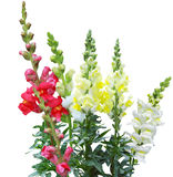 Colorful Snapdragon Stock Photos