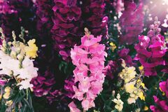 Free Colorful Snapdragon Flowers Close Up. Beautiful Floral Background For Posters, Blogs And Web Design Royalty Free Stock Image - 175457426