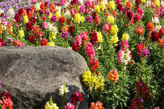 Colorful snapdragon flowers Stock Photography