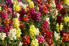 Colorful snapdragon flowers Stock Photos