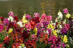 Colorful snapdragon flowers Stock Photo
