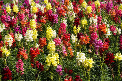 Colorful snapdragon flowers Royalty Free Stock Photography