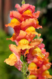 Colorful snapdragons Stock Photography