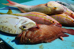 Colorful Snappers. Are the catch of the day from the Gulf of Mexico Royalty Free Stock Photo