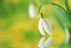 Colorful snowdrop Stock Photos
