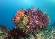 Colorful soft coral reef royalty free stock image