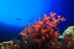 Colorful Soft Coral and Scuba Divers Royalty Free Stock Photo
