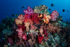 Colorful Soft Corals and Fish Royalty Free Stock Photos