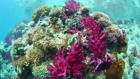 Colorful Soft Corals Grow in Raja Ampat stock footage