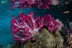 Colorful Soft Corals in Raja Ampat Channel Stock Photos