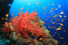 Colorful Soft Corals and Tropical Fish Royalty Free Stock Photos