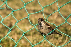 Sparrow in the grids. Colorful sparrow in the grids in nature on sunlight looking at camera royalty free stock images