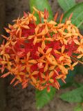 Colorful Special Flowers Plant in Garden. Bunch of Orange and Red Flower Plant in Garden royalty free stock photos