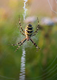 Colorful spider Royalty Free Stock Images