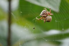 Colorful Spider Catches Prey In Her Web royalty free stock photography