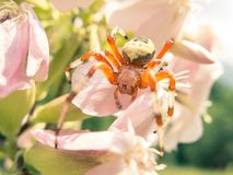 Colorful spider on a flower Royalty Free Stock Images