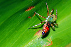 Colorful spider on green leaf plant Stock Images