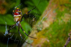 Colorful spider inside of the Cuyabeno National Park, in Ecuador Stock Image