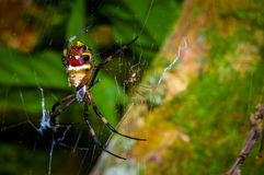 Colorful spider inside of the Cuyabeno National Park, in Ecuador Royalty Free Stock Photo