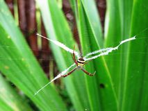 Colorful Argiope obe weaver spider and spider web on green blurry background Stock Photos