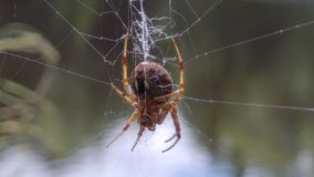 Afternoon Arachnid. Colorful Spider in the sun, on it`s web, overlooking a pond, Catskills, NY, NYS royalty free stock photography