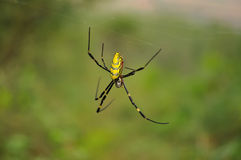 Colorful spider waiting for prey Stock Photography