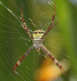 Colorful spider on the web Royalty Free Stock Photography