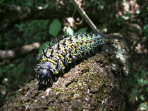 Colorful spiky caterpillar on tree trunk in Swaziland Royalty Free Stock Image