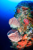 Colorful sponges and corals on a deep reef wall Royalty Free Stock Photo