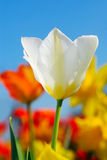 Colorful spring. White tulip with colorful spring flowers and blue sky in the background stock image