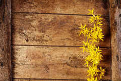 Colorful spring border of dainty yellow forsythia. Colorful spring border with dainty yellow forsythia flowers over textured rustic vintage worm ridden wooden stock image
