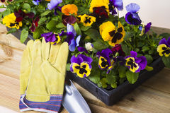 Colorful spring flower. Spring flowers in box with glove Royalty Free Stock Photo