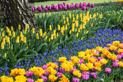 Colorful Spring Flower Garden. Carpet of colorful rows of tulip buds and blossoms and of grape hyacinth plants royalty free stock photography