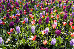 Colorful spring flower mix Royalty Free Stock Photo