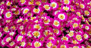 Colorful spring flowers Cineraria for floral background
