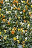 Colorful spring flowers in a flower bed royalty free stock images