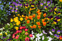 Colorful spring flowers in flowerbed Royalty Free Stock Photo
