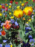 Colorful spring flowers. Flowerbed of colorful tulips and pansies Royalty Free Stock Images