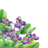 Colorful spring flowers Fragrant violets English Sweet Violets, Viola odorata. Royalty Free Stock Photography
