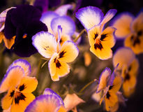 Colorful spring flowers Stock Photography
