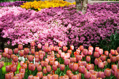 Colorful spring flowers in Holland garden Keukenhof, Netherlands Royalty Free Stock Photo