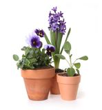 Colorful Spring Flowers of Pansies and Hyacinth in Stock Images