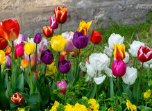 Colorful spring flowers Royalty Free Stock Photography