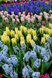 Spring hyacinth flowers Royalty Free Stock Image