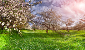 Colorful spring landscape in apples garden Royalty Free Stock Photography