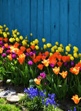 Colorful Spring Landscaping with Tulips. A backyard with colorful landscaping during Spring as multi color tulips & grape hyacinths are in bloom against a blue Royalty Free Stock Image